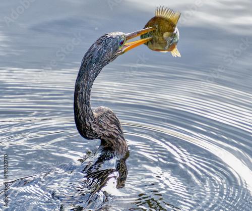 Fotografija  Anhingna spear fisher