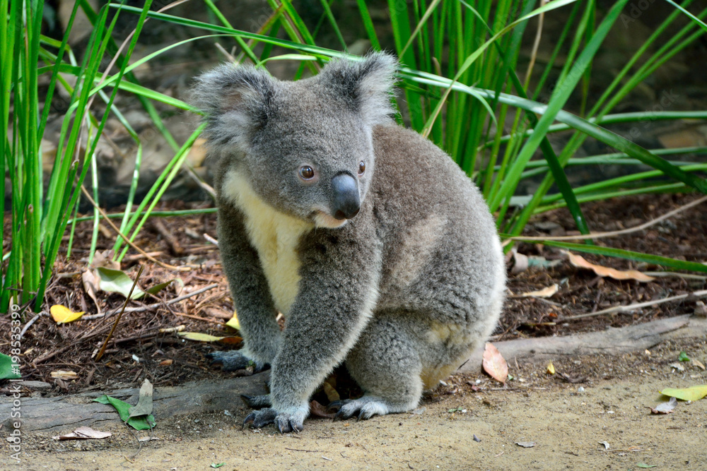 Koala sitting on the ground