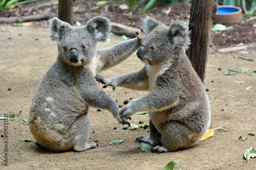 Two koalas on the ground