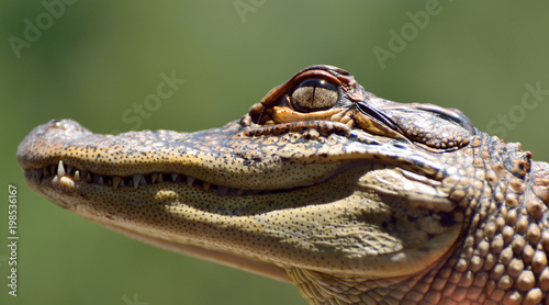 Deurstickers Krokodil Head of freshwater crocodile (Crocodylus johnsoni).