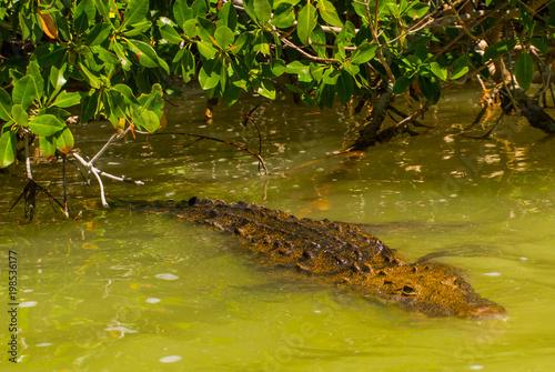 Crocodile swims in the river. Rio Lagartos, Yucatan, Mexico