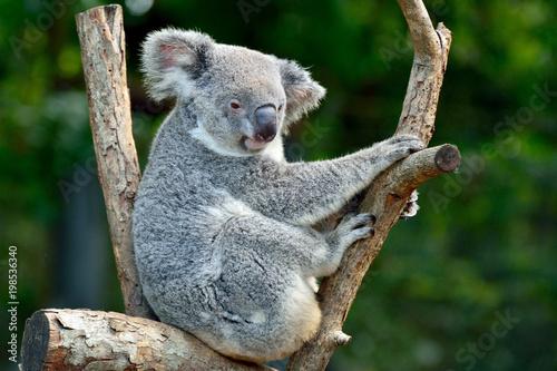 Keuken foto achterwand Koala Koala on eucalyptus tree in Australia.