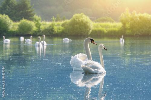 Fototapeta premium Schwanenpaar auf dem See