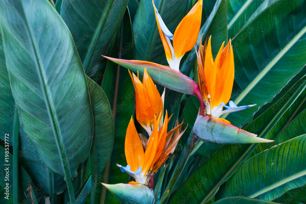 Fototapeta Exotic tropical flower Strelizia Reginae also named Bird of Paradise. Native to South Africa.Floral background.