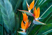 Exotic Tropical Flower Strelizia Reginae Also Named Bird Of Paradise. Native To South Africa.Floral Background.