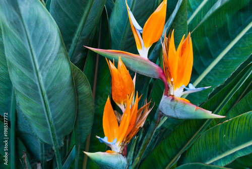 Photo  Exotic tropical flower Strelizia Reginae also named Bird of Paradise