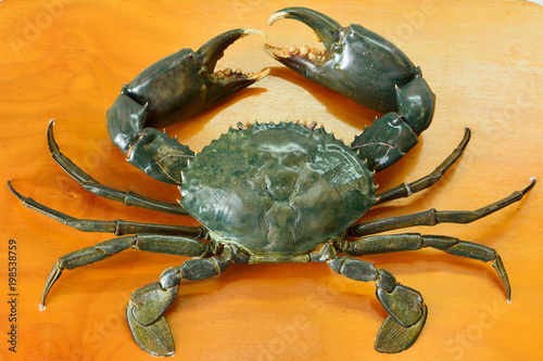 Mud crab (Scylla serrata)