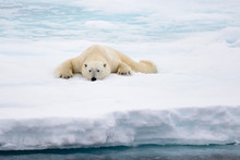 Polar Bear Lying On Ice With S...