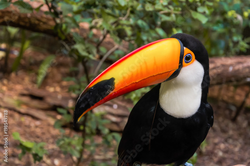 In de dag Toekan Species of the bird park in Foz do Iguacu Brazil, toucan toco