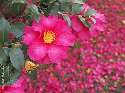Spoed Foto op Canvas Roze Red camellia(camellia japonica) flower blooming in the garden