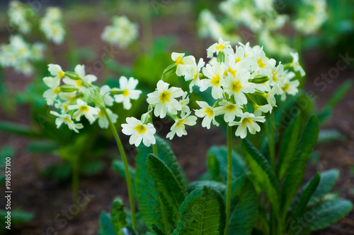Papiers peints Narcisse early spring white flowers