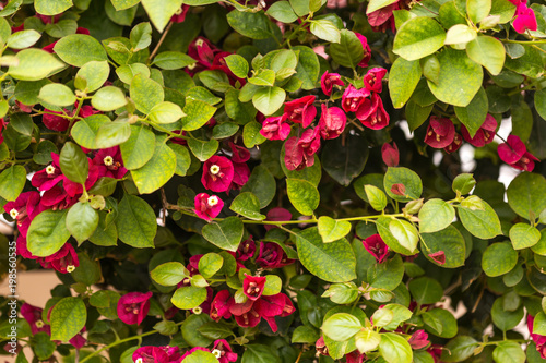 Photo Summer concept. Blooming bougainvillaea background.