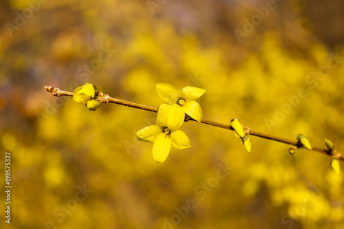 Beautiful Forsythia in spring time Fototapet