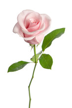 Single Pink Rose Isolated On W...