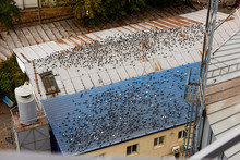 Many Doves Sit On Large Building Roofs. Lots Of Pigeons Shit On The Roof. Dirty Housetop. Urban City Problems. Pattern.