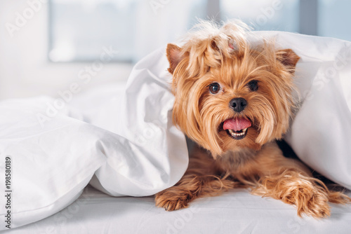 Fototapeta close up view of cute little yorkshire terrier lying on bed covered with blanket