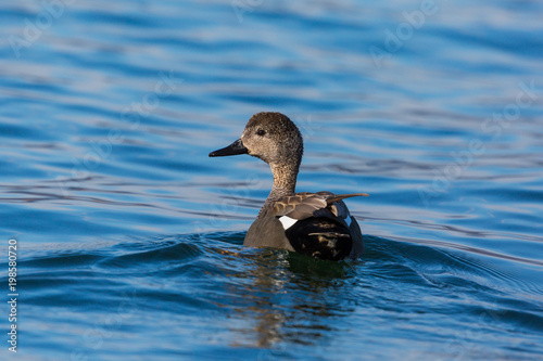 male gadwall duck (anas strepera) swimming in blue water in sunshine