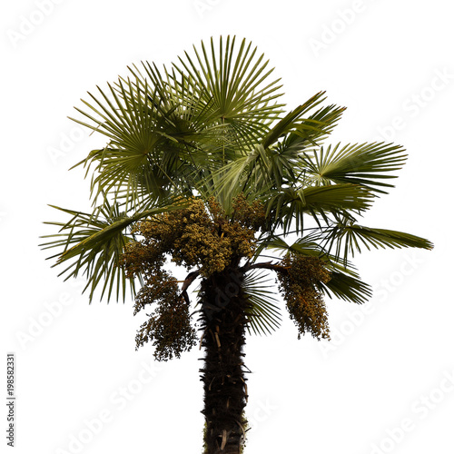 Foto op Plexiglas Palm boom Palm tree isolated on a white background.
