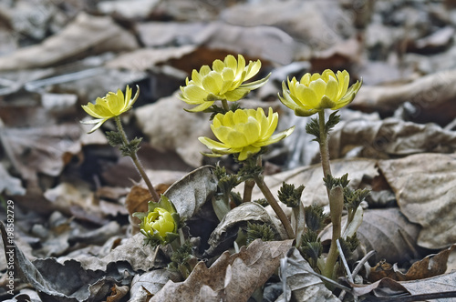 Amur adonis (Adonis amurensis). Known also as Pheasant's eye. Canvas Print