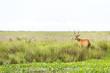 Male Marsh Deer (Blastocerus dichotomus)