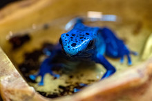 Dyeing Poison Frog Blue Mortal