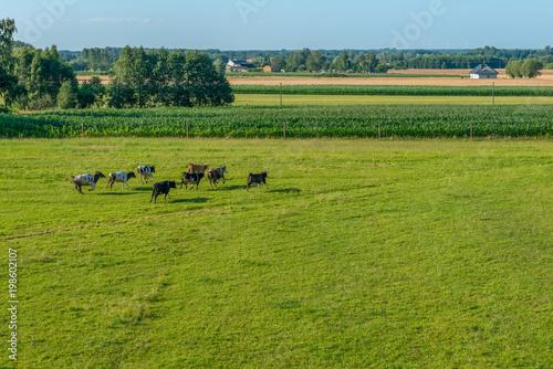 Poster de jardin Vache Stado krów biegnących po łące