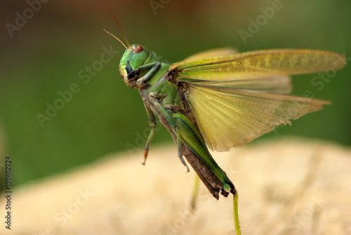 Fotomural Green large Locusts flying with wide open wings, side view, soft blurry bokeh ba
