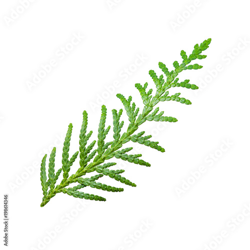 Juniper or Cade Plant Branch Isolated on White