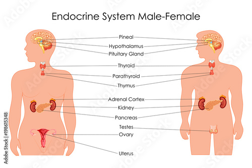 Education Chart of Biology for Endocrine System in Male and Female Diagram