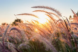 Kwiat trawy o zachodzie słońca. - 198621163