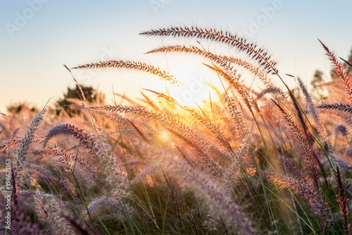 In de dag Zalm Grass flower at sunset.