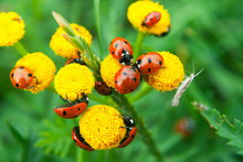 A Group Of Red Ladybugs Sitting On A Yellow Flower
