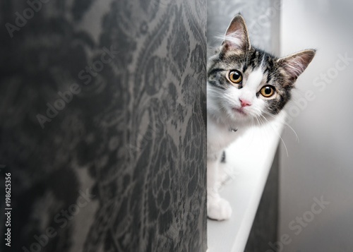 Pinturas sobre lienzo  Curious young kitten peeking around a corner
