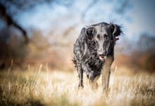Flat Coated Retriever In The G...