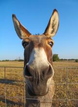 Donkey - Closeup View. Portrait Of Cute Domestic Animal.