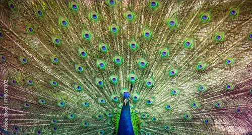 Foto op Plexiglas Pauw Peacock beautiful bird wing of colorful art nature feather pattern on background