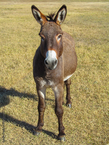 Foto op Canvas Ezel Donkey - in front view. Cute animal standing on a farming pasture with dry grass background.