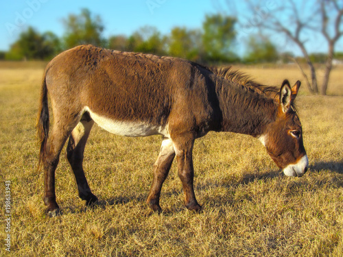 Walking donkey in position side view.