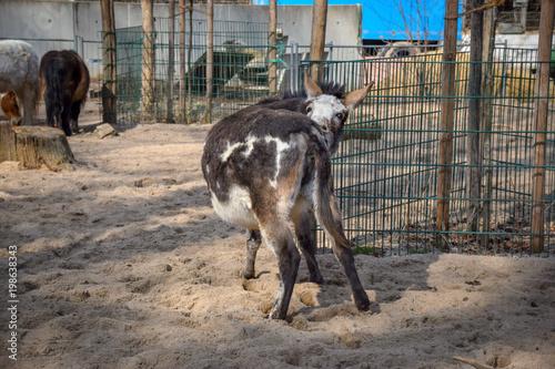 Esel, Donkey, Zypern, Fressen, Sand, Pferd, Pfolen, Hintern, Beißen, Zähne