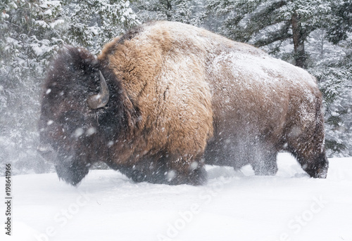 Valokuva  Bison shaking head in knee deep snow