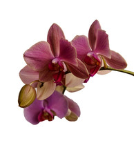Orchid Isolated On White Backg...