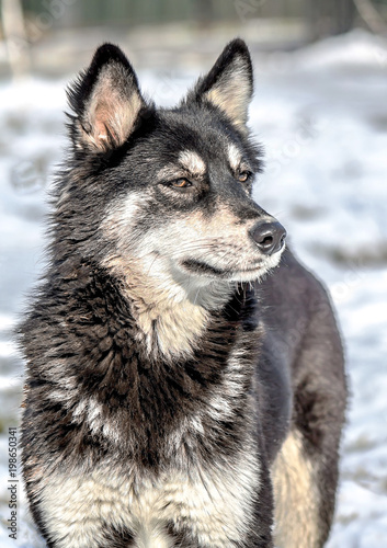 Canvas Prints Wolf Beautiful stray dog in the winter in the park