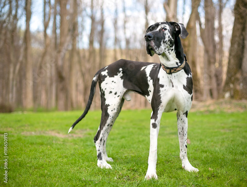 Fototapeta A black and white purebred Harlequin Great Dane dog outdoors obraz