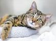 Leinwandbild Motiv A young brown tabby domestic shorthair cat relaxing on a cat bed