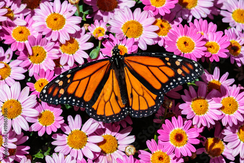 Fotografie, Obraz  Monarch butterfly resting on a bed of bright pink flowers in Arizona's Sonoran Desert