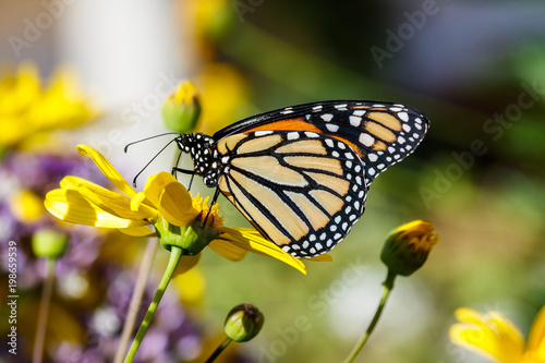 Fotografie, Obraz  Monarch butterfly feeds on a bright yellow flower in Arizona's Sonoran Desert