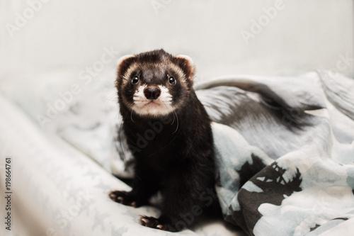 Fotografering  The ferret peeps