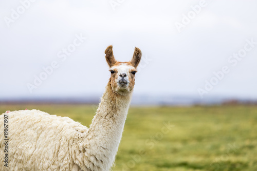 Foto op Plexiglas Lama One isolated llama in the Altiplano