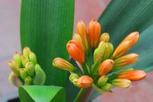 Close Up On Clivia Flower Blo...