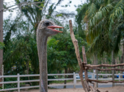 Fotobehang Struisvogel Ostrich stretch its long neck looking forward to feeding from visitor in the zoo